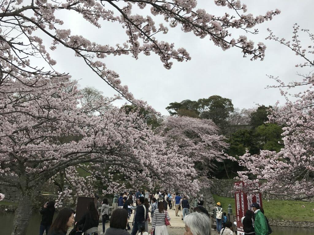 彦根城の桜道